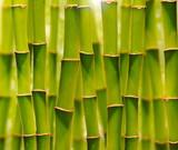 Zielone bambusy w gaju