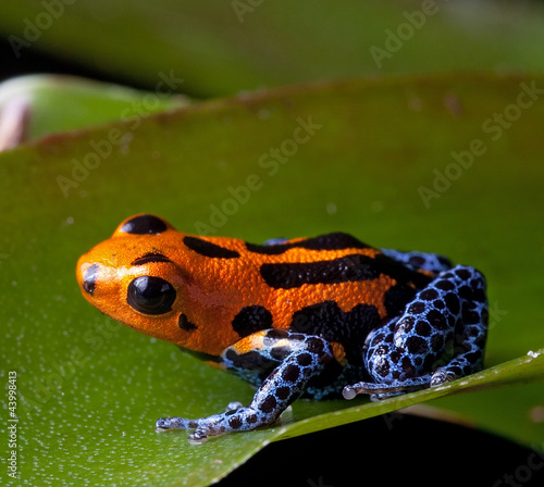 Photo red striped poison dart frog blue legs
