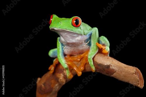 Türaufkleber Makrofotografie red eyed tree frog peeping