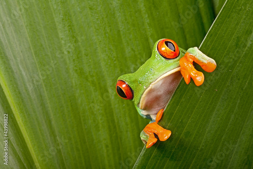 Spoed Foto op Canvas Kikker red eyed tree frog peeping