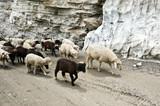 owce - 44013081