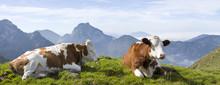 Kühe In Den Bayrischen Alpen Mit Breitenstein Im Hintergrund