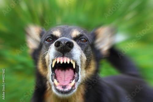 Poster Chien Barking dog