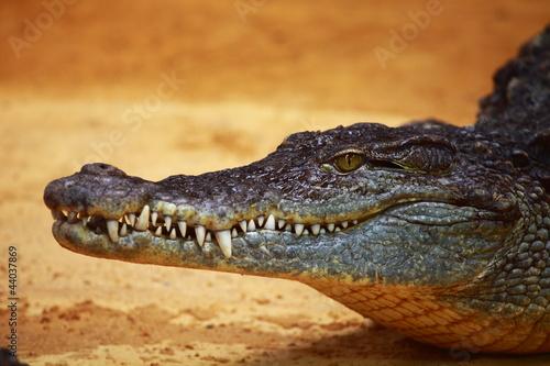 Garden Poster Crocodile Big Crocodile on yellow sand background