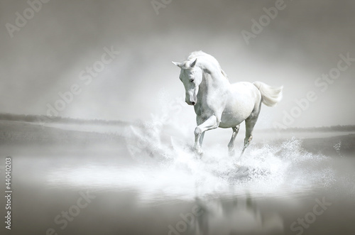 Fototapeta White horse running through water obraz