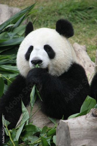 Portrait of giant panda bear eating bamboo, China