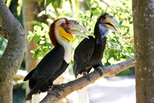 Couple Of Bar-pouched Wreathed Hornbills In Nature