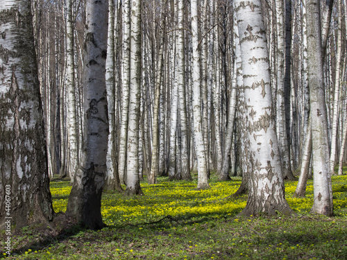 Canvas Prints Birch Grove Birch Grove in the Spring