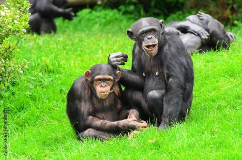 Fotografie, Obraz  Chimpanzee