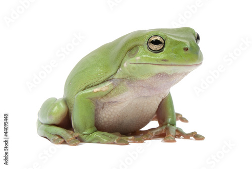 Tuinposter Kikker Green tree frog, Litoria splendida, on white background