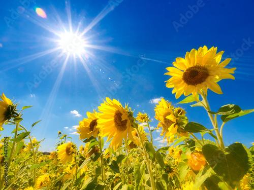 Foto-Schiebegardine ohne Schienensystem - Sunflowers field