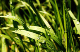 Sonniges Gras mit Tau