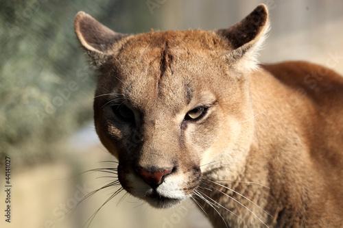 Papiers peints Puma Puma ( felis concolor)