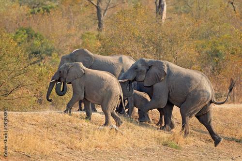 Fototapeta premium Małe stado słoni afrykańskich