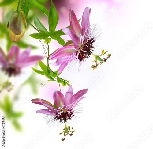 Akustikstoff - Passiflora Border Design