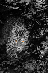 FototapetaBeautiful leopard Panthera Pardus big cat amongst foliage