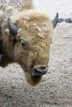White American Bison (Bison Bison)