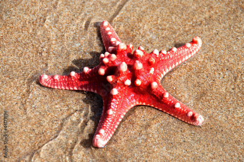 Red sea star isolated