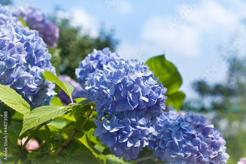 Spoed Foto op Canvas Hydrangea Blue hydrangea flowers
