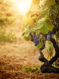 Vineyard in autumn harvest