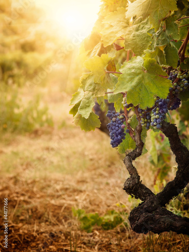 Foto-Kissen - Vineyard in autumn harvest