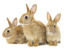 Three Brown Rabbits