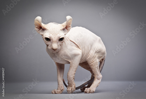 Obraz na plátně weird hairless cat