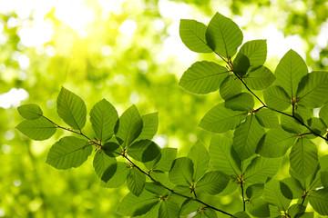 Fototapeta na wymiar Green leaves background