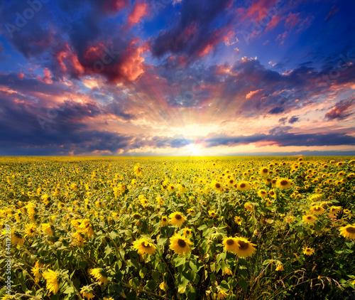 Fotografia, Obraz  Sunset over sunflowers field