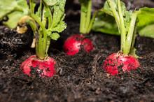 Radish Plants In The Garden