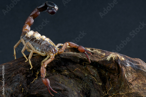 Scorpion with babies