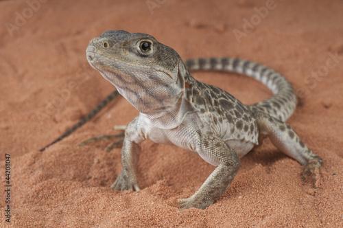 Photo  Leopard lizard / Gambelia wislizenii