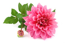 Pink Dahlia Isolated On White ...