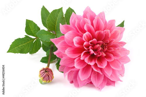 Fotobehang Dahlia pink dahlia isolated on white background