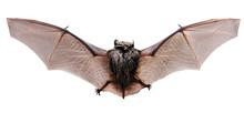 Animal Little Brown Bat Flying...