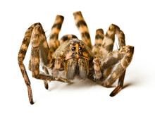 Close Up Of Wolf Spider On Whi...