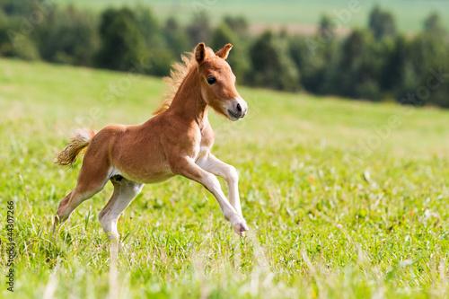 Fotografia, Obraz mini horse Falabella