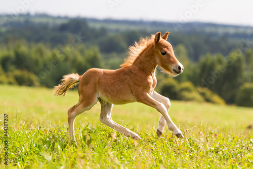 Foto op Aluminium Paarden foal mini horse Falabella