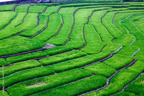Photo sur Toile Les champs de riz feild