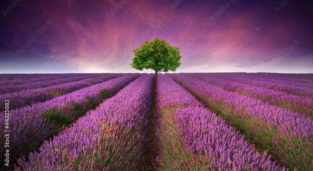 Fototapety, obrazy: Stunning lavender field landscape Summer sunset with single tree
