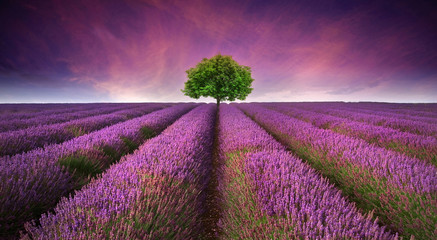 Obraz na Szkle Lawenda Stunning lavender field landscape Summer sunset with single tree