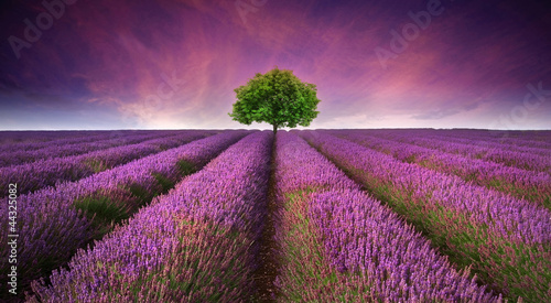 Poster Culture Stunning lavender field landscape Summer sunset with single tree