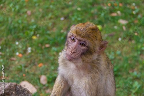 Fotografie, Obraz  Jeune macaque