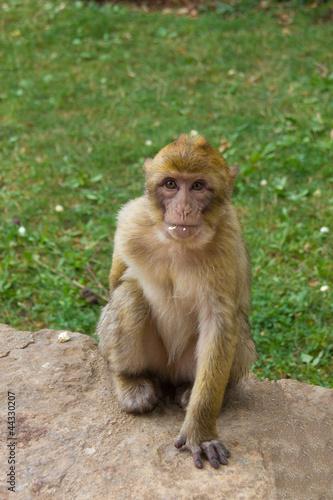 Foto op Plexiglas Aap Jeune macaque