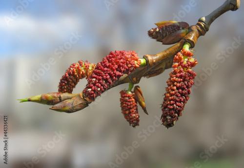 Close-up of red poplar catkins Fototapeta