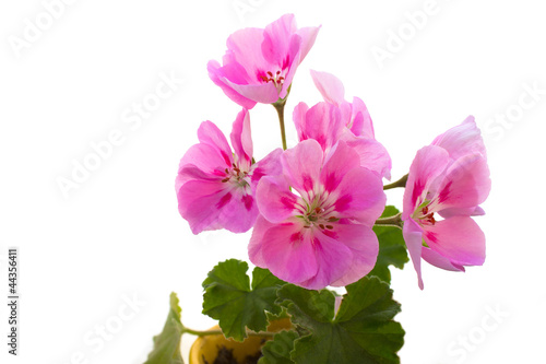 Poster Dahlia Pink flowers