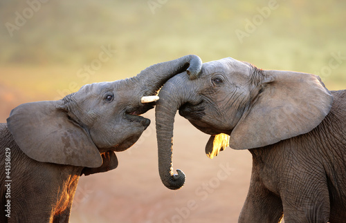 Elephants touching each other gently (greeting)