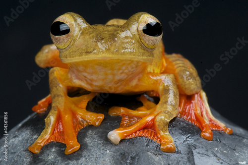 Tuinposter Kikker Harlequin tree frog / Rhacophorus pardalis