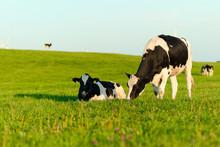 Holstein Cows Grazing