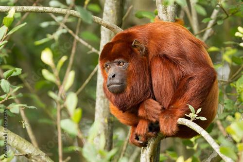 In de dag Aap Mantled howler (Alouatta seniculus) resting